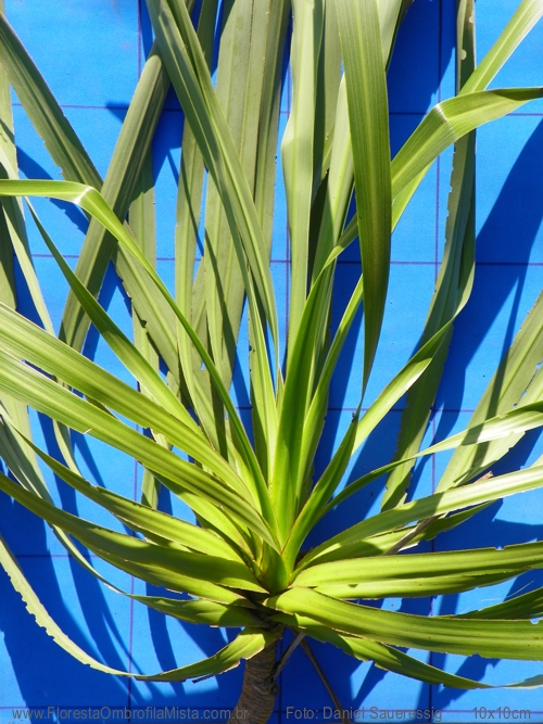 Cordyline spectabilis Kunth & Bouch�